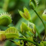 Rovarfogó növénygyűjtemény