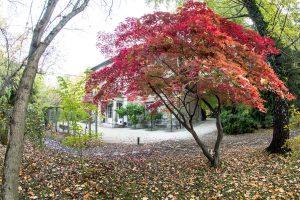 arborlegyezőlevelű juhar (Acer palmatum)