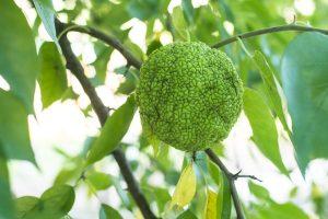 arbornarancseper (Maclura pomifera)