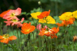 eveloizlandi mák kertészeti változata (Papaver nudicaule)