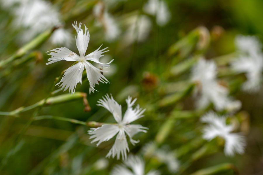Védett és veszélyeztetett növények a Füvészkertben